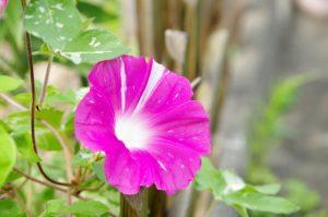 紫色の朝顔