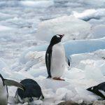 南極に住むペンギン