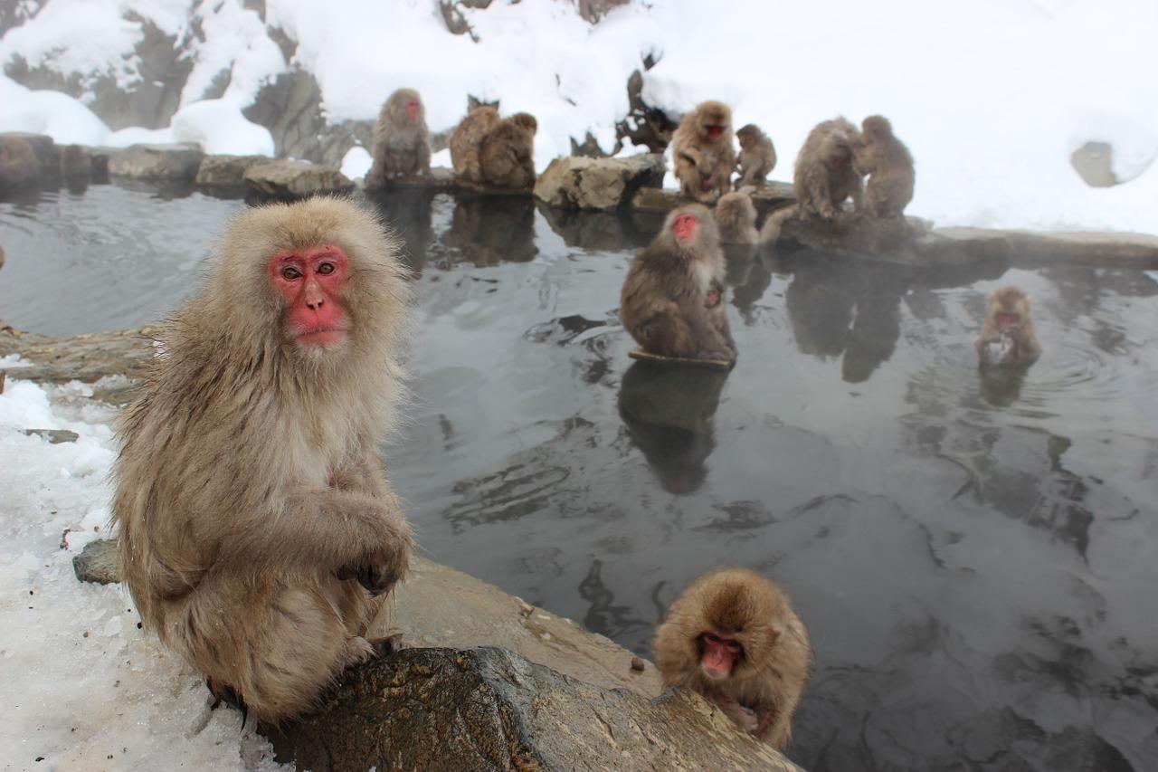 温泉に入り温まるサル